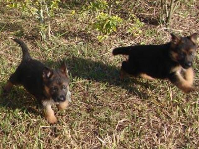 Transtorno obsessivo compulsivo (TOC) pode vitimar os cães