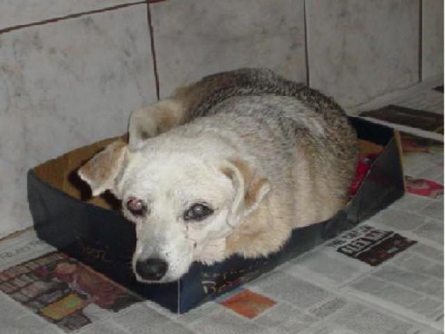 Mais vulneráveis às infecções e doenças como artrose, cães em idade avançada exigem cuidados específicos.