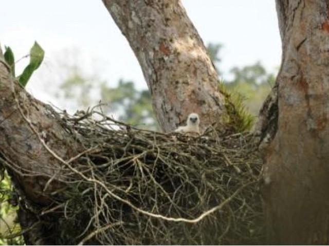 Nasce um filhote de Gavião-real na Reserva Ducke