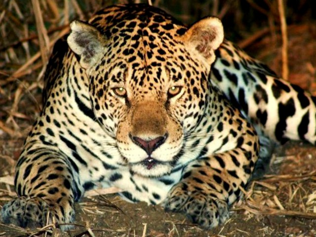 Estudo com armadilhas fotográficas releva fauna da Reserva Amanã