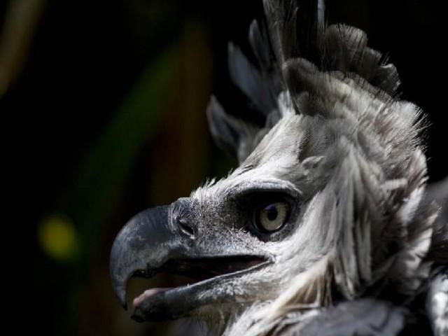 Harpias chegam ao Paraná, vindas do Pará, para fortalecer o trabalho do Refúgio Biológico Bela Vista