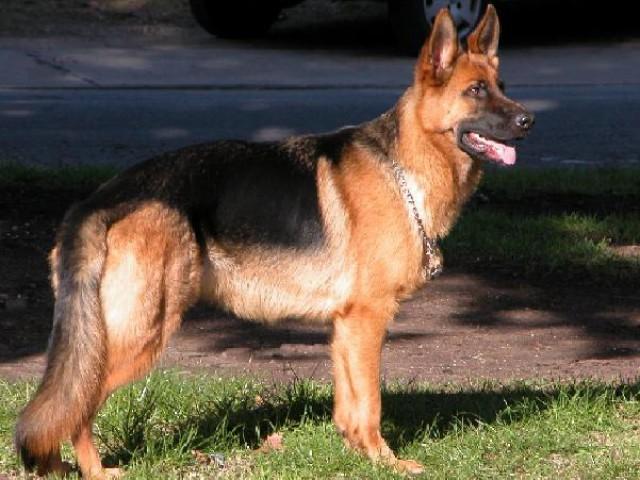 Cães de guarda têm por sua natureza a postura dominante