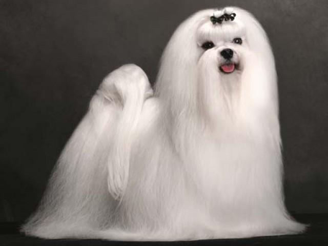 A Confederação Brasileira de Cinofilia é responsável pela emissão dos pedigrees dos cães no país