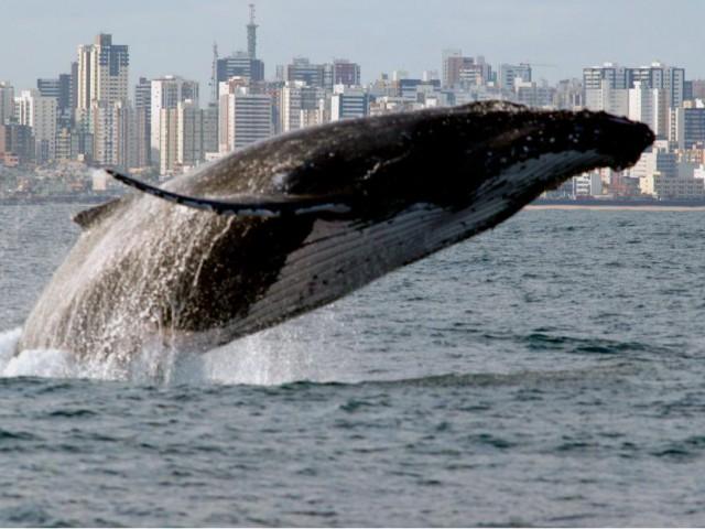Projeto Baleia Franca registra 40 baleias francas no primeiro sobrevoo de monitoramento da temporada