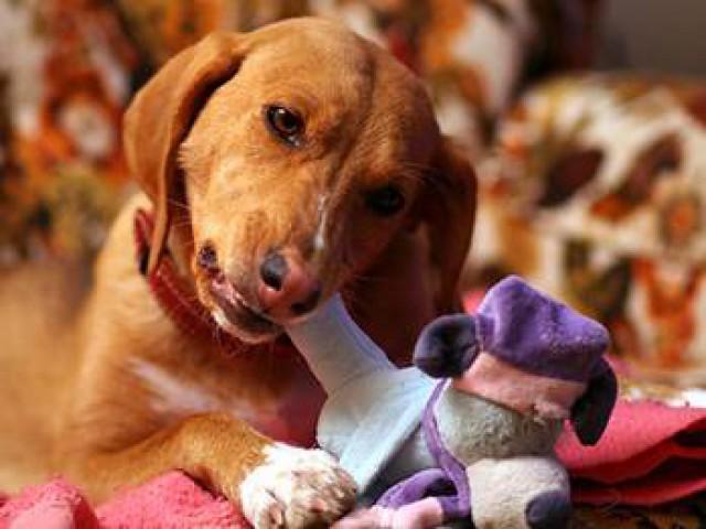 Pets bem nutridos respondem melhor às vacinas